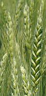 Пшеница озимая Подолянка (элита)