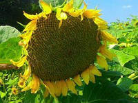 Семена подсолнечника Фалькон стандарт