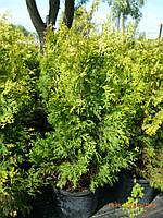 Туя западная Санкист (Thuja occidentalis Sunkist) h130+см, контейнер С20