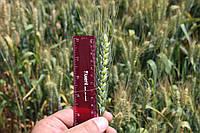 Семена пшеницы озимой Сотница, Сотниця