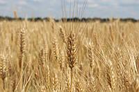 Пшеница озимая мягкая Лира одесская, Ліра одеська