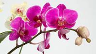 Орхидея отдушка-10 мл