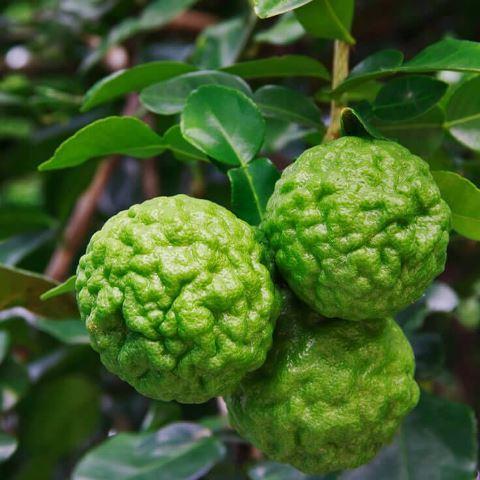 Кафрский лайм (Kaffir Lime, Citrus hystrix)