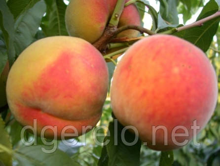 Саженцы персика Кардинал (среднеспелый)