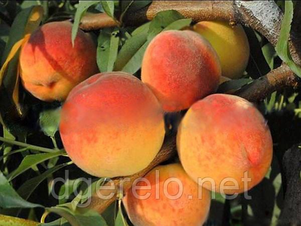 Вайн Голд Т3 - саженцы персика среднего.