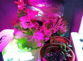 Салат одесский кучерявец, выращивание в DWC системе гидропоники в подвале 2