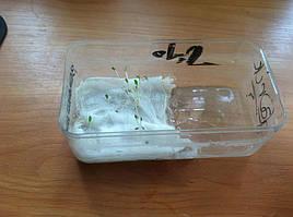 Салат одесский кучерявец, выращивание в DWC системе гидропоники в подвале 5