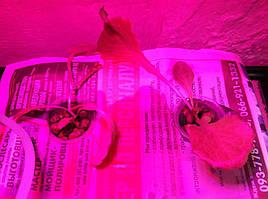 Салат одесский кучерявец, выращивание в DWC системе гидропоники в подвале 11