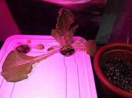 Салат одесский кучерявец, выращивание в DWC системе гидропоники в подвале 12