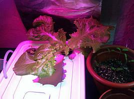 Салат одесский кучерявец, выращивание в DWC системе гидропоники в подвале 13