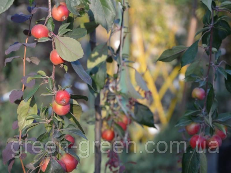 Райское яблочко осеннее на штамбе