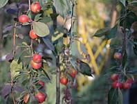 Райское яблочко осеннее на штамбе, фото 1