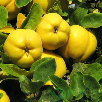Айва Отличница яблоковидная