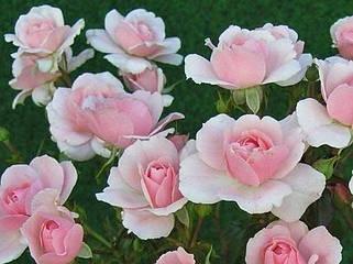 Розы Полиантовые