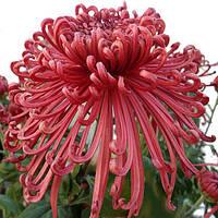 Хризантема Шанг бордовая Горшечная крупноцветная Рассада