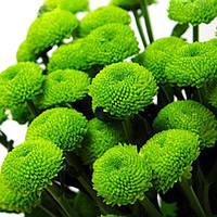Хризантема Маримо зелёная Веточная Рассада