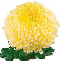 Хризантема Кремист белая Крупноцветная Рассада