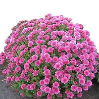 Хризантема Си Серфер розовая Горшечная мелкоцветная (мультифлора) Рассада