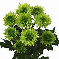 Хризантема Авокадо зелёная Веточная Рассада