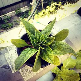 Зелень в фитопирамиде на удобрениях Green Kit 9