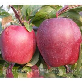 Яблоко зимнее Глостер, саженец