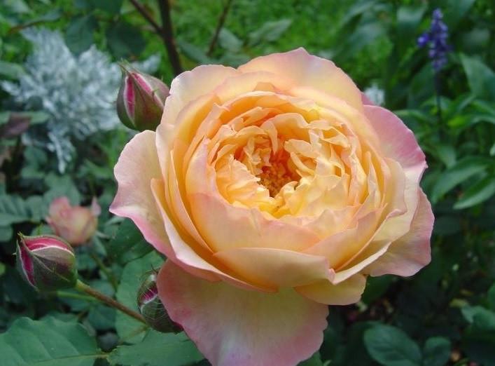 Роза Велл Биинг (Well Being) Шраб