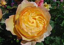 Роза Велл Биинг (Well Being) Шраб, фото 2