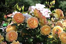 Роза Велл Биинг (Well Being) Шраб, фото 3