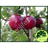 Яблоко осеннее Ред Чиф
