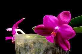 """Орхидеи. Сорт Phal. Super jaguar, горшок 2.5"""", без цветов"""