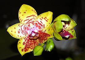 "Орхидеи. Сорт Phal. Orchid World, горшок 2.5"", без цветов"