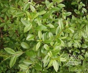 Саженцы Листовой кустарник Ligustrum Vulgaris (Бирючина Обычная) (лучшая цена купить оптом и в розницу)