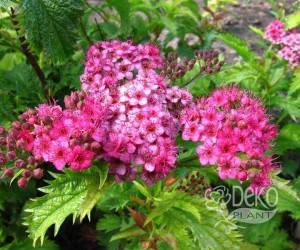 Саженцы Цветущий кустарник Spiraea Bumalda (Спирея Бумальда) (лучшая цена купить оптом и в розницу)