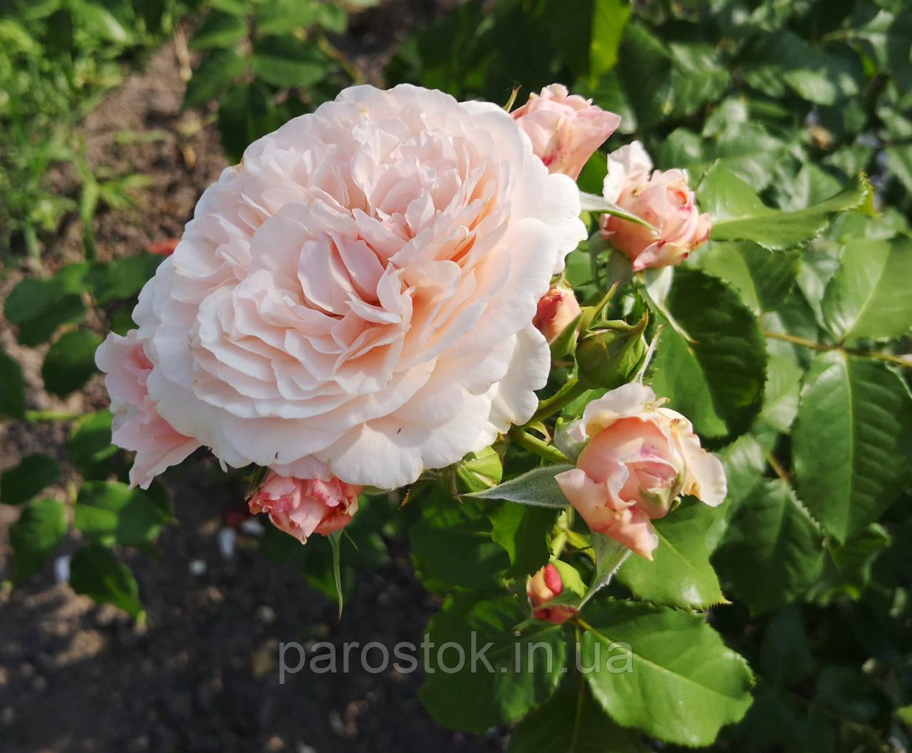 Роз де Толбиак. Плетистая роза