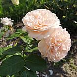 Роз де Толбиак. (ввв). Плетистая роза, фото 2