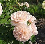 Роз де Толбиак. (ввв). Плетистая роза, фото 3