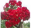 "АДЕНИУМ - РОЗА ПУСТЫНИ ""strawberrysunday"" (Adenium Obesum Desert Rose ""strawberrysunday"" )"