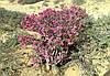Семена Адениум Сомалийский микс, фото 2