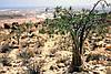 Семена Адениум Сомалийский микс, фото 3