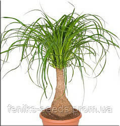 Нолина бутылочное дерево молодое растение