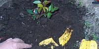 Необычное удобрение из банановой кожуры