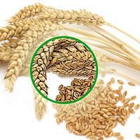Визначення спор сажки методом мікологічної експертизи зерна пшениці.