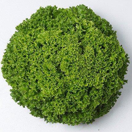 Семена салата Илема, (1000 сем.) Enza Zaden