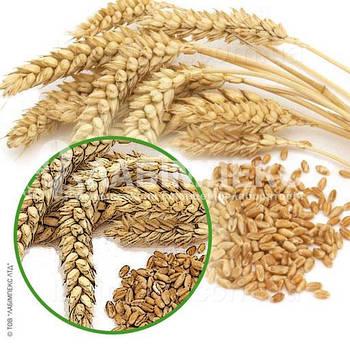 Оборудование для определения головни (сажки) пшеницы