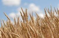 Семена озимого ячменя, фото 1
