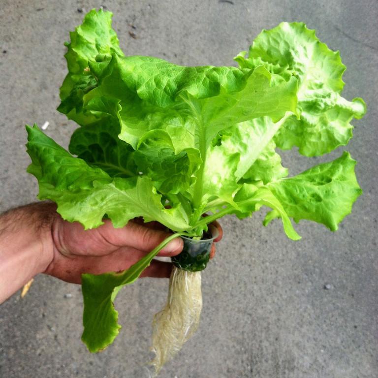 Салат одесский кучерявец, выращивание в DWC системе гидропоники в подвале
