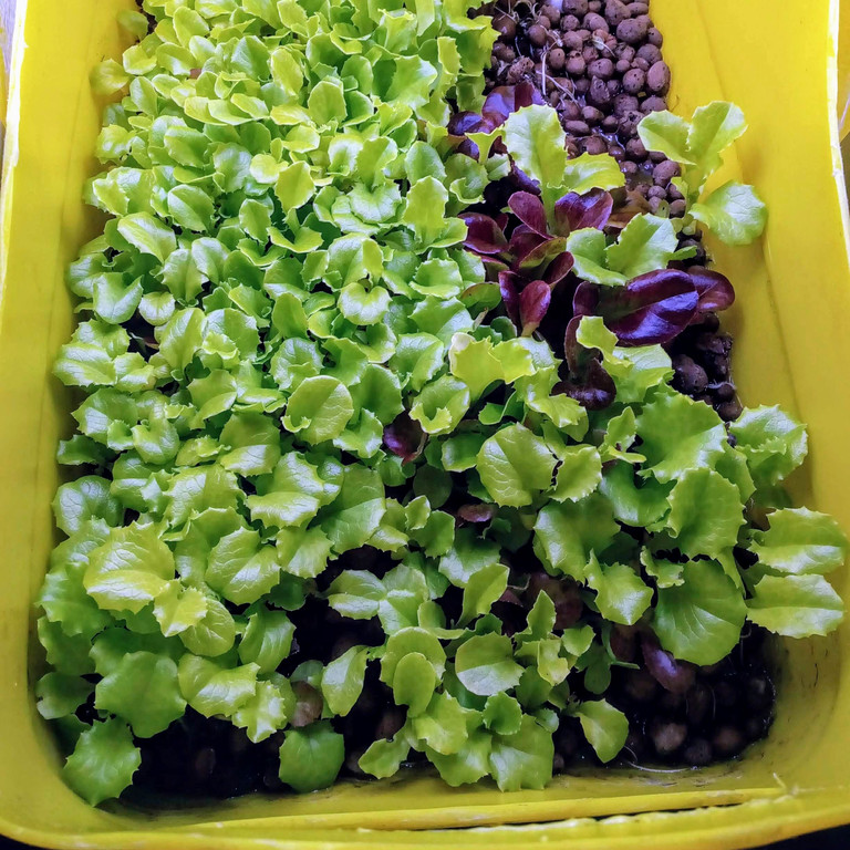 Салат-микрозелень на Green Kit