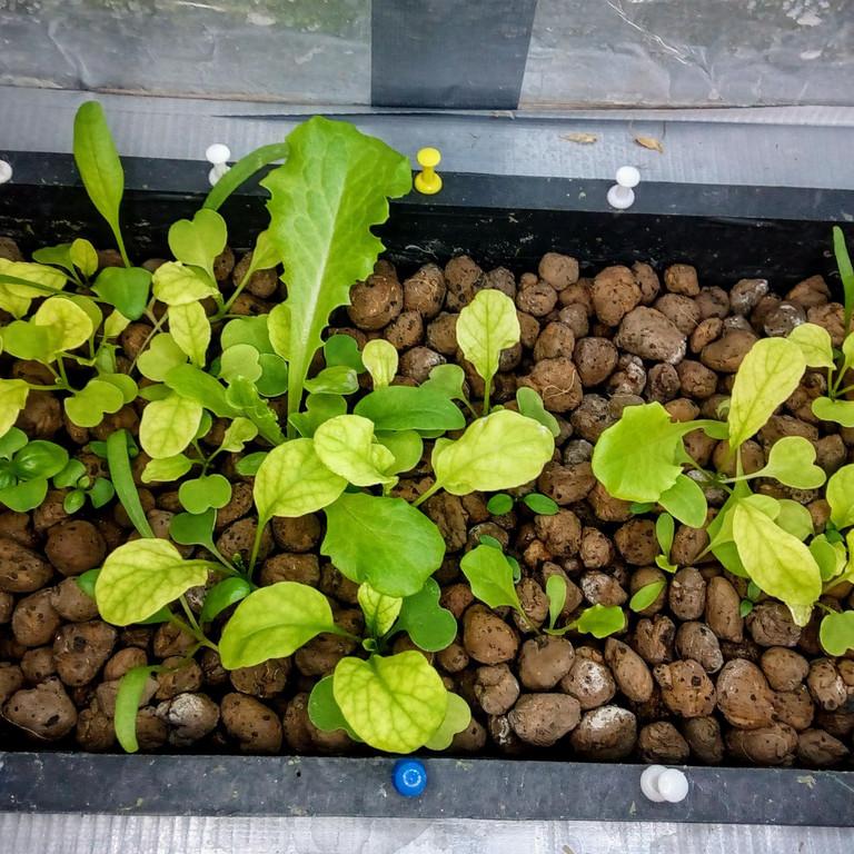 Зелень в системе аквапоники на Green Kit