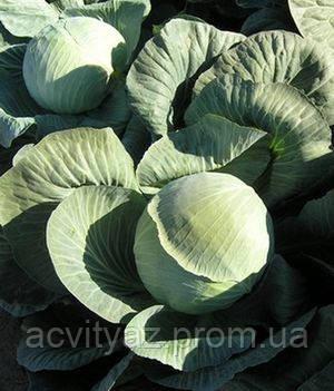 Семена капусты Колобок 1.000 семян