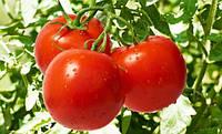Семена томата Яна 1.000 семян